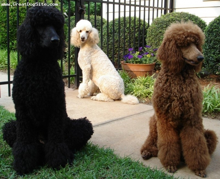 Standard Poodle-5 years-Black, White, Red-1193465349